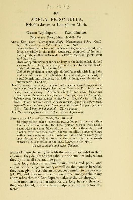 Bestimmungshilfe des Lepiforums: Coleophora Frischella
